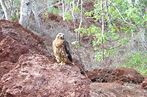 A Galapagos Hawk perched on rocks.